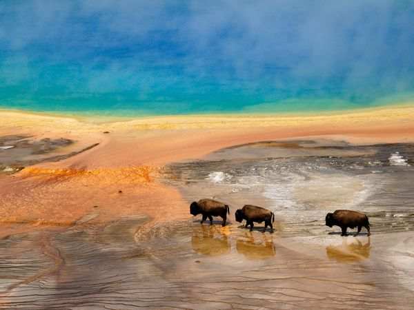 yellowstone-bison-national-park_20729_600x450