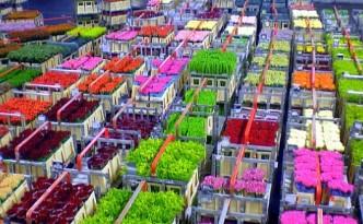 aalsmeer-flowers--flkr-tiogegeca